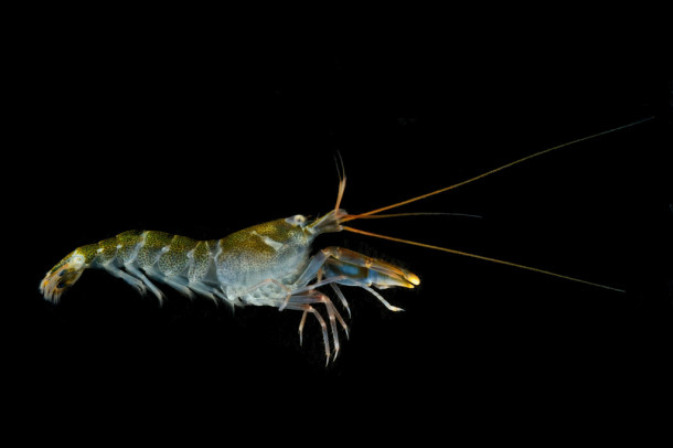 paper research on shrimp Sustainable shrimp aquaculture alternative 512-388-3960 e-mail: meese404@gmailcom summary: the technology described in the white paper that follows has the potential of revitalize the intensive shrimp production facility at texas agrilife mariculture research center in port.