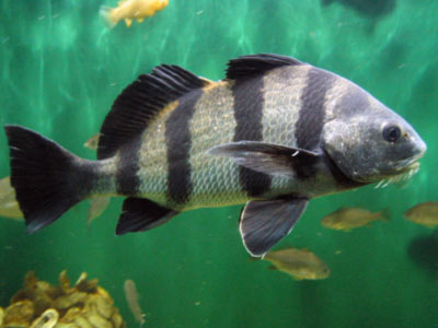 Black drum vocalizations ocean conservation research for Do fish make noise