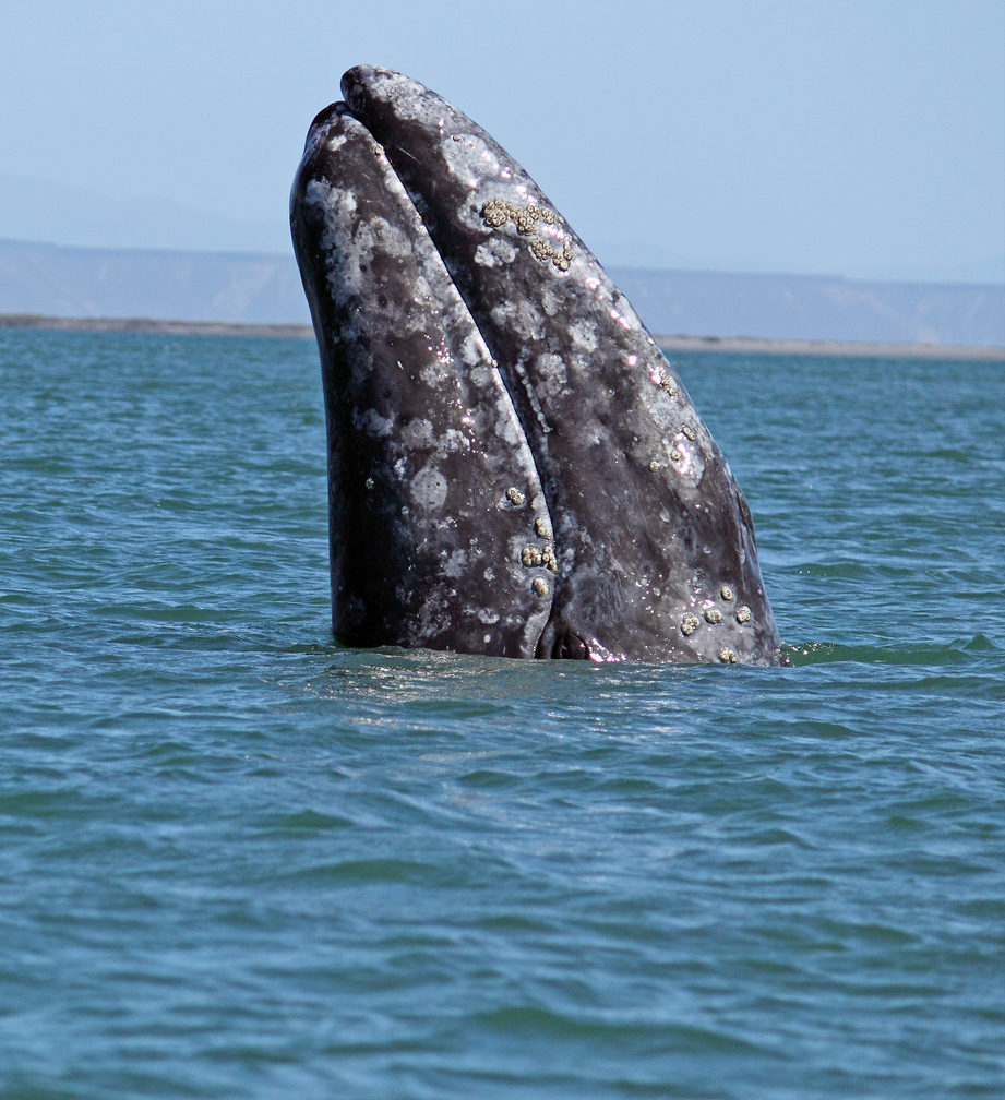 graywhale2