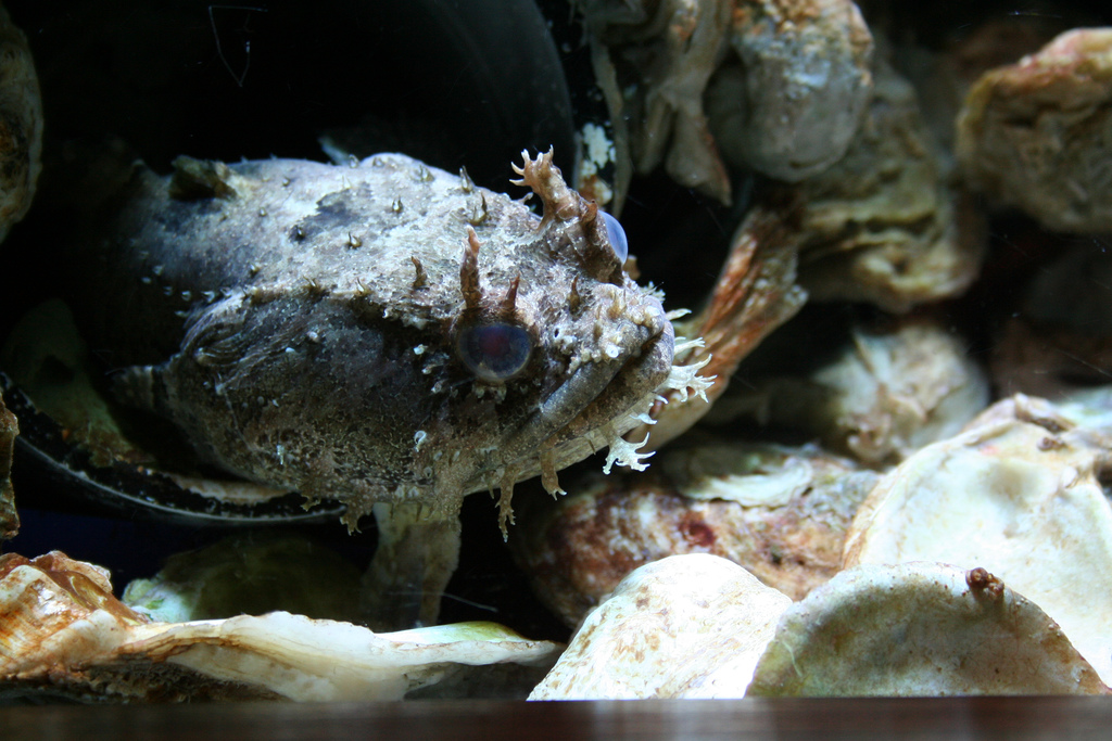 Oyster Toad Fish