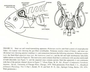 how do fish hear
